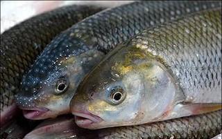 ماهیان سردابی