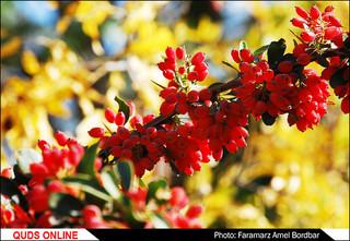 مزارع زرشک در استان خراسان جنوبی