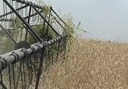 بیش از ۳۴۵ هزار هکتار گندم در گلستان کشت شد