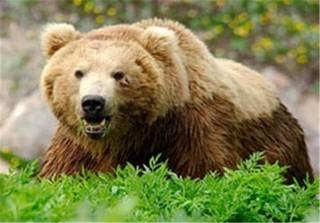 خرس قهوه ای و خرس سیاه آسیایی
