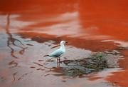کشند قرمز قاتل آبزیان بندر چابهار