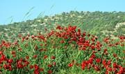 «بهار کردی» گُلی نقش بسته بر تابلوی فرهنگ ایران زمین