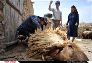 مراسم سنتی پشم چینی گوسفندان در روستای آقداش کلات