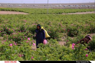 برداشت گل محمدی و گلابگیری در قمصر کاشان