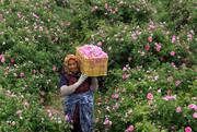 ترنم صادرات  با رایحه خوش گل محمدی/گیاهان دارویی جایگزین مناسبی برای دریاچه ارومیه