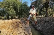 سیطره تلخ شوری آب بر نخیلات تشنه خوزستان