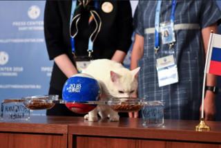 آشیل گربه روسی