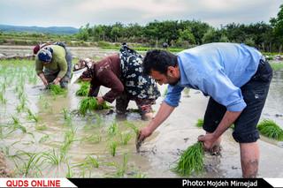 از رنج تا برنج