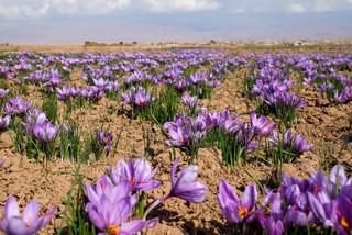 هفته زعفران ایران