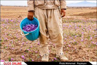 برداشت زعفران به آخرین روزهای خود میرسد