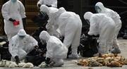 استقرار امنیت زیستی در مرغداریها مهمترین روش مقابله با بیماری آنفلوانزا