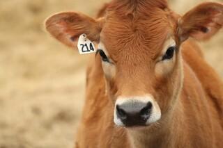 گوساله