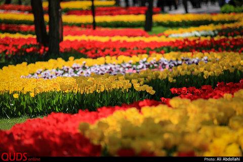 جشنواره گلهای پیازی در بوستان ملت مشهد