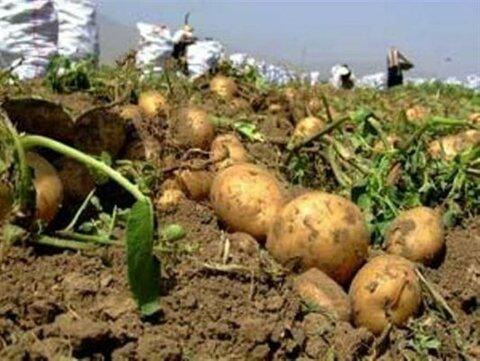 شایعه آلودگی سیب زمینی در شرق کشور جوانه زد
