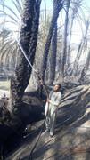 3500 نخل بارور  در دهستان« کله دین» سیستان و بلوچستان سوخت