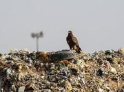 «زباله» طعمه مسموم برای پرندگان شکاری