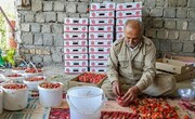 طلای سرخ کردستان حال و روز خوبی ندارد