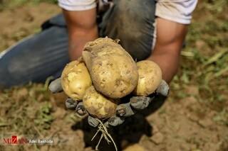 افزایش قیمت سیب زمینی