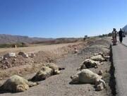 رعد و برق ۱۰ گوسفند در مهران را تلف کرد