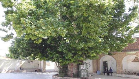 درخت 450 ساله کهنوج
