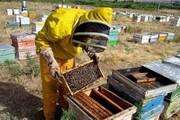 پیشبینی افزایش ۵ درصدی کلنیهای زنبور عسل