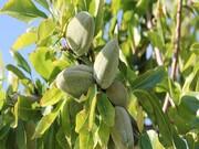 ۱۱ هزار و ۵۰۰ تن بادام خشک سالانه در خراسان رضوی تولید میشود