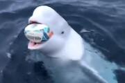 نهنگ سفید عضو برنامه جاسوسی سری روسیه شناسایی شد