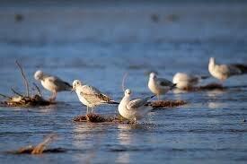 سرشماری پرندگان