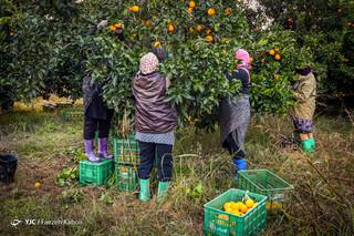 چیدن پرتقال