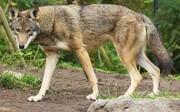گرگ ها به شهرک های زنجان پناه آوردند