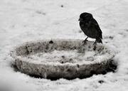 افراد فرصت طلب در کمین پرندگان گرسنه در برف تالش