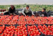 وضعیت قرمز بازار گوجهفرنگی در کرمان سفید شد/دولت به کمک کشاورزان آمد