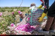 برداشت ۱۵۰ تن گل محمدی از گلستانهای بخش جلگه رخ