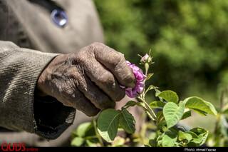 برداشت گل محمدی در سربیشه خراسان جنوبی