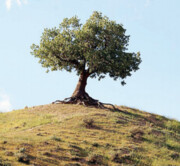 میخواهم ۲ میلیون درخت بلوط بکارم