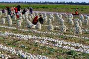 گره مشکلات کشاورزان جنوب کرمان با حرکت جهادی سپاه گشوده شد