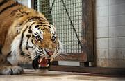 نگهبان باغ وحش زوریخ، قربانی حمله ببر شد