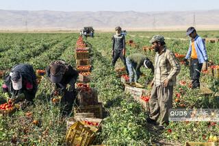 فصل برداشت گوجه فرنگی