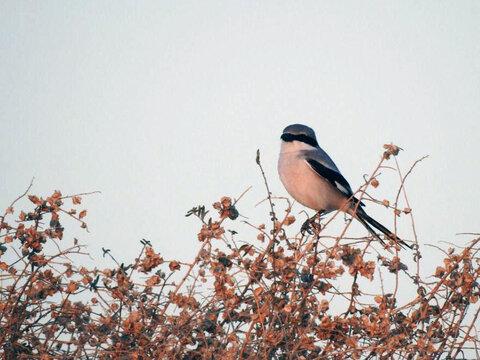 پرنده سنگ چشم خاکستری