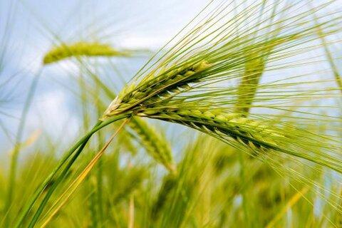 مدیر کشت و صنعت اسفراین زیرمجموعه شرکت کشاورزی رضوی