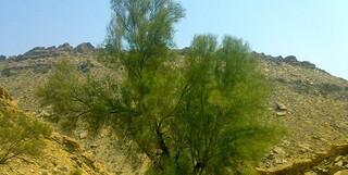 درختچه گز