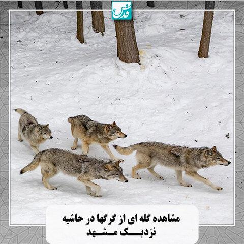 گله گرگ ها