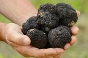 قارچهای سیاهروزگار جنگلهای هیرکانی را سیاه کرد
