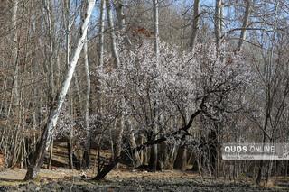 شکوفه زدن درختان در زمستان