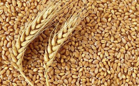 موجودی انبارهای گندم خوزستان تا سال آینده کافی است