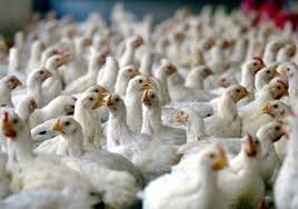 شرکت تولیدی مرغ